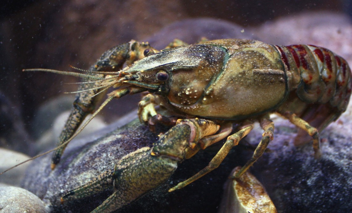 Kamberkrebs_spiny-cheek_crayfish_Orconectes_limosus_male