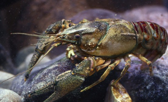 Kamberkrebs_spiny-cheek_crayfish_Orconectes_limosus_male