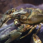 Entrepreneurship And Why The Crayfish Bent